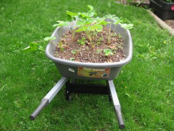 Dusty's original wheelbarrow/planter